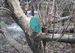 Чем замазать срезы деревьев после обрезки